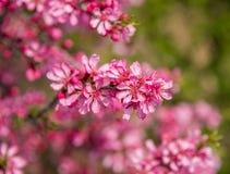 Det blommande trädet med rosa färger blommar i vår Arkivfoto