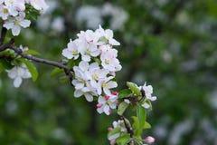 Det blomstra Apple-trädet Arkivfoto