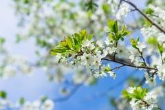 Det blomstra körsbärsröda trädet på våren Royaltyfria Bilder