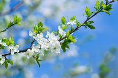 Det blomstra körsbärsröda trädet på våren Fotografering för Bildbyråer
