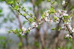Det blomstra körsbärsröda trädet på våren Royaltyfri Bild