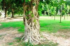 Det Bodhi trädet är det framdelen av Wat Srichum i Sukhothai historiskt P arkivfoton