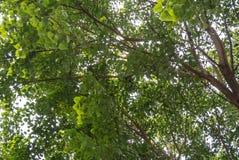 Det Bodhi trädet Fotografering för Bildbyråer