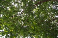 Det Bodhi trädet Arkivfoto