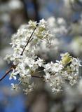 Det Bradford päronet blommar upp slut, som våren ankommer royaltyfri fotografi