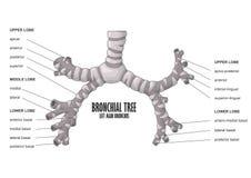 Det bronkiala trädet lämnade huvudsaklig bronchusmänniskaanatomi Arkivbild