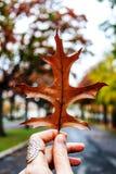 Det bruna bladet Arkivbilder