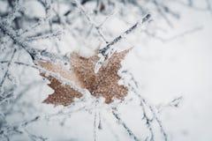 Det bruna bladet som täcktes med frost, klibbade mellan filialer av busken Arkivbild