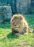 Det bruna lejonet på zooträdgården, grönt gräs, sol rays och att sitta royaltyfri fotografi