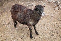 Det bruna unga fårlammet på vaggar royaltyfri foto