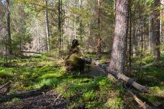 Det brutna trädet rotar den delvis gick ned barrträds- ställningen för insidan Arkivbilder