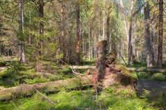 Det brutna trädet rotar den delvis gick ned barrträds- ställningen för insidan Arkivfoton