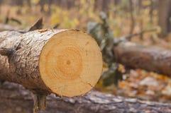 Det brutna trädet rotar den delvis gick ned barrträds- ställningen för insidan med w Royaltyfria Bilder