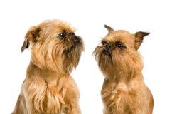 det bruxellois paret dogs griffon Arkivfoto