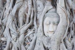 det buddha huvudet rotar treen arkivbilder