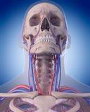 Det cirkulations- systemet - hals royaltyfri illustrationer