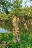 Det döda trädet åts av termit Royaltyfri Fotografi