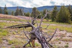 Det döda trädet i den Yellowstone nationalparken fotografering för bildbyråer