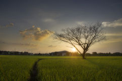 Det döda trädet i ricefield Arkivfoton