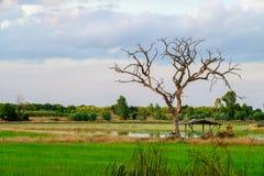 Det döda trädet med filialer och inga sidor betar in, bland gräsplan fi Royaltyfria Foton