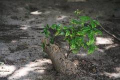 Det döda trädet rotar är vid liv royaltyfri bild