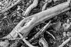 Det döda trädet rotar att ligga på vaggar i svartvitt royaltyfri bild