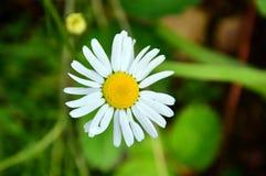 Det Daisy Flower `-innehavet fingrar `, Tusenskönan korsade hennes kronblad lat Matricariachamomilla Fotografering för Bildbyråer