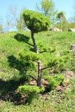 Det dekorativa barnet sörjer trädet Royaltyfria Bilder
