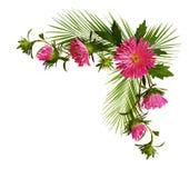 Det dekorativa hörnet med den rosa aster blommar, och pulm förgrena sig Royaltyfri Foto