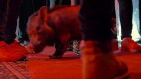 Det dekorativa svinet g?r i m?rkt rum med r?d belysning, bland ben av folk lager videofilmer