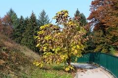 Det dekorativa trädet med långt tunt cylindriskt kärnar ur fröskidor, och gräsplan som gulnar, och bruna sidor som planteras i lo arkivbild