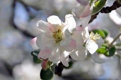 Det delikata äppleträdet blommar i trädgården Arkivbild