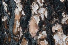 Det delvis brända skället av sörjer trädet royaltyfria bilder