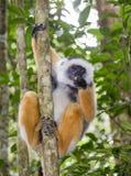 Det diademed sifakasammanträdet på en filial madagascar Mantadia nationalpark Royaltyfri Foto