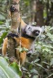 Det diademed sifakasammanträdet på en filial madagascar Mantadia nationalpark Arkivfoton