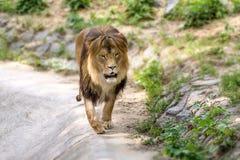 Det djura vuxna lejonet går i zoo Arkivbild