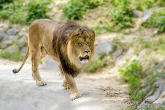 Det djura vuxna lejonet går i zoo Arkivbilder