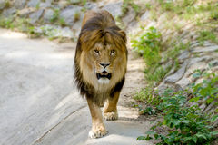 Det djura vuxna lejonet går i zoo Arkivfoto