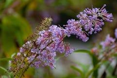 Det doftande och att välva sig klungor av rosa färger för fjärilsBush lilor royaltyfri bild