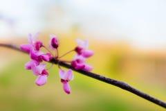 Det drömlika Redbud trädet blommar på solnedgångljus Arkivfoton
