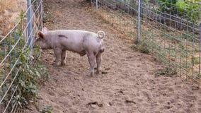 Det enkla barnet smutsar ner det rosa inhemska svinet med den lockiga svansen som petar hennes näsa till och med trådstaketet Arkivfoto