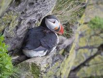 Det enkla slutet upp för Fraterculaarctica för atlantisk lunnefågel sammanträde vaggar på av Latrabjarg fågelklippor royaltyfria foton