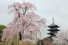 Det enorma Funi Sakura trädet i blomning och berömd Fem-berättelse pagod i den Toji templet i Kyoto Arkivfoton