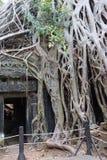 Det enorma trädet rotar överväldigar den förstörda templet Fotografering för Bildbyråer