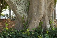 Det enorma trädet rotar Royaltyfria Foton