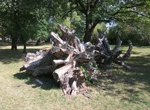 Det enorma trädet rotar att åldras Royaltyfria Bilder
