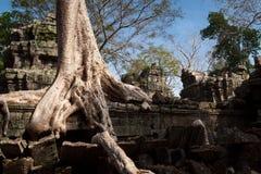 Det enorma trädet rotar på templet för Ta Prohm Arkivbilder