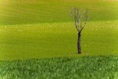 Det ensamma döda trädet i gräsplan arkivfoto