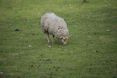 Det ensamma fåret äter gras i ängen royaltyfria foton