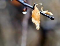 Det ensamma gula bladet på en filial med regn tappar Arkivbild